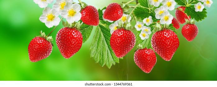 summer harvest of red garden ripe strawberries