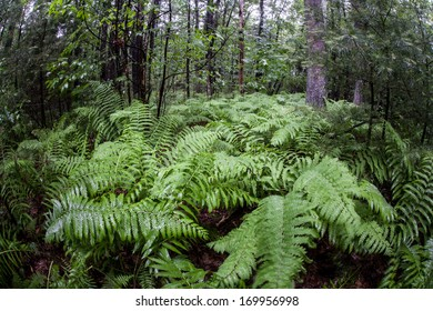 Summer has come to a New England forest and plant growth is riotous. This temperate part of the northeast United States has four distinct seasons.