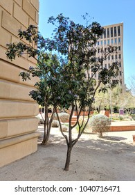 Summer heat-loving Texas Mountain Laurel flowering at the end of Winter and beginning of Spring in Phoenix downtown park, Arizona