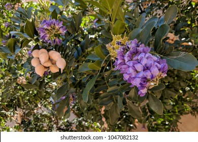 Summer heat-loving Texas Mountain Laurel (Calia secundiflora, formerly Sophora secundiflora) flowering at the end of Winter and beginning of Spring in Arizona