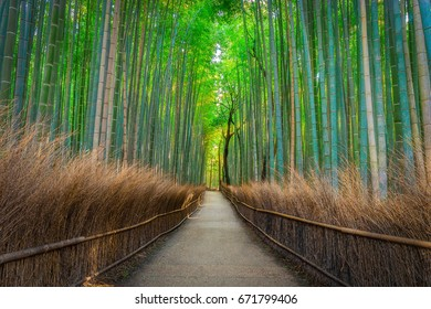 Summer Japanese Bamboo forest and path between green and tall bamboo perfect for a relaxing walk, with trees and no people in Kyoto.