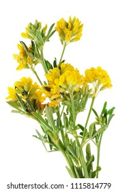 Summer June  European forest uncultivated  yellow flowers bunch. Isolated on white studio macro shot.