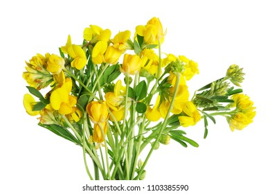 Summer June  forest uncultivated  yellow flowers with leaves. Isolated on white studio macro shot.