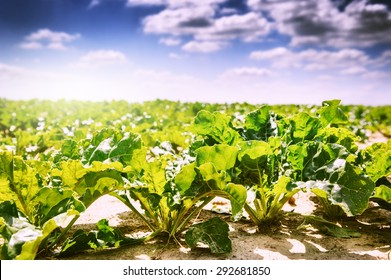 Summer landscape. Agricultural field with growing sugar beet