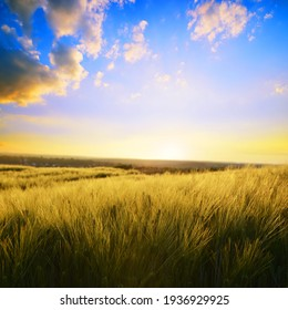 Summer landscape with barley field at sunset.Rural scene with ripening ears under sunlight.