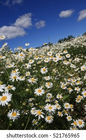summer landscape beautiful camomile field on a sunny day