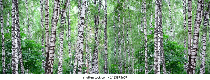 Summer landscape with birch forest. Beautiful nature wilderness. Summer green birch forest. White birches and green leaves. panoramic long banner, template for design, copy space