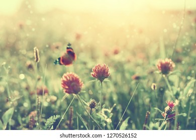 Summer landscape with blooming clover at sunset. Summer background with butterfly on clover flower