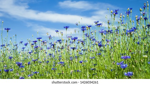 Summer landscape with bright blooming cornflowers in the field. Cornflowers flowers against the sky.