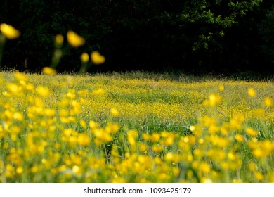 Summer landscape with buttercups and wildflowers