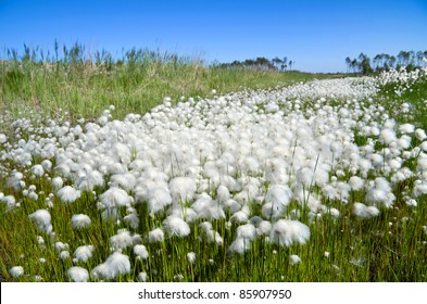 Summer Landscape with Cotton Grass. Russia, Western Siberia