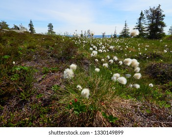 Summer landscape with cotton grass in the wilderness of Riisitunturi national park, a mountain in Lapland in Finland. Young trres on the foreground and a distant lake on the background.