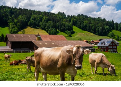 Summer landscape with cow grazing on fresh green mountain pastures near Grindelwald, Switzerland, Europe. Holstein cows are grazing at warm summer morning on a meadow.