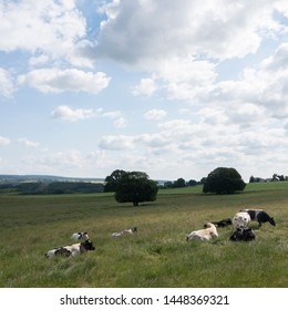 summer landscape with cows of countryside near la roche in the belgian ardennes