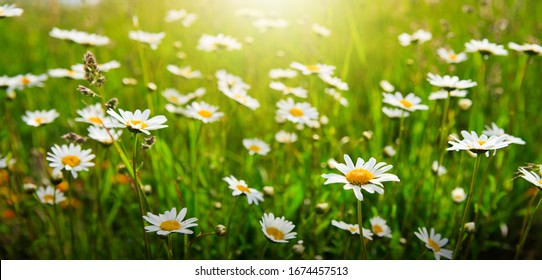 Summer landscape with daisy field and green grass.