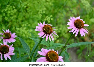 Summer landscape. Echinacea flower. Echinacea purpurea. Perennial flowering plant of the Asteraceae family. Beautiful flower abstract background of nature