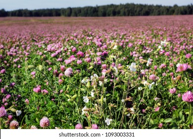 Summer landscape with a field of flowering pink clover and wildflowers.