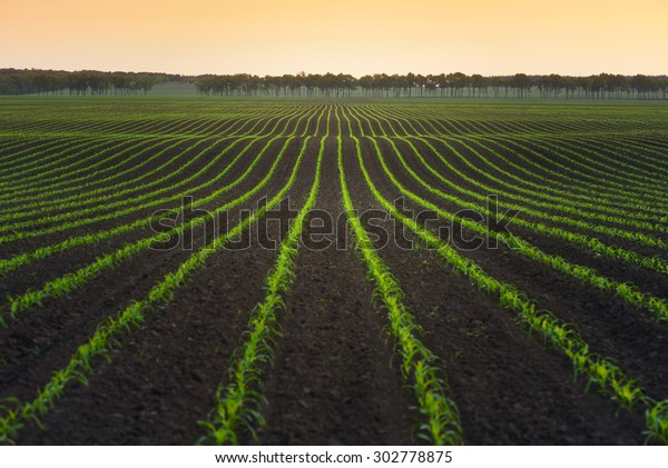 Summer landscape with a field of young corn. Ukraine, Europe