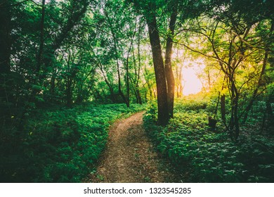 The Summer Landscape With Forest Path Going Ahead To Sunset Sunrise Through Bright Green Thick Growth Of Small-Flowered Touch-Me-Not Or Impatiens Parviflora Under Tree Crowns Of Greenwood