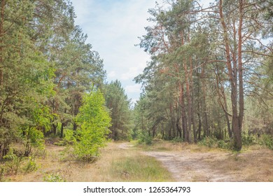 Summer landscape with a forest path. Nature in the vicinity of Pruzhany, Brest region, Belarus.