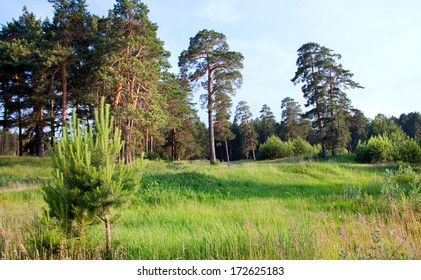 summer landscape green grass at the edge of a pine forest on a sunny day