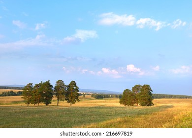 summer landscape group of pine trees in a meadow at sunset