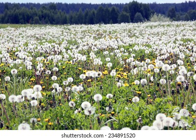 summer landscape meadow of dandelions and white fluffy clouds in the blue sky on a sunny day