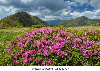 Summer landscape in the mountains. Meadow with flowering rhododendron. Beautiful pink flowers sunny day. Carpathians, Ukraine, Europe