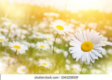 Summer landscape. Summer natural background with beautiful daisies on the meadow.