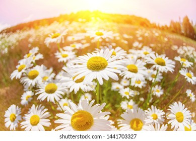 Summer landscape. Summer natural background with beautiful daisies on the meadow.Chamomile flowers in the sunlight.