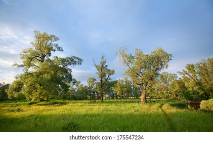 summer landscape of oak trees and green grass at sunset