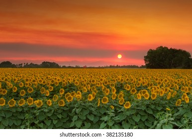 Summer Landscape: Orange Sunset over Yellow Sunflower Field in Northern California