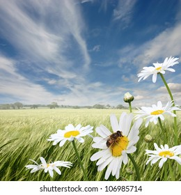 A Summer Landscape with Oxeye Daisies and Honey Bee