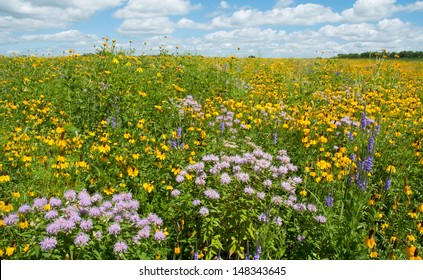 Summer landscape: a prairie full of flowers, including prairie coneflowers, wild bergamot and blue vervain, also called blue verbena