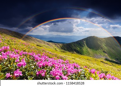 Summer landscape with rainbow after rain. Glade of flowering pink rhododendrons in the mountains. Amazing place with a beautiful natural phenomenon