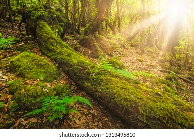 Summer landscape of the rainforest in Garajonay national park, La Gomera, Canary Islands, Spain