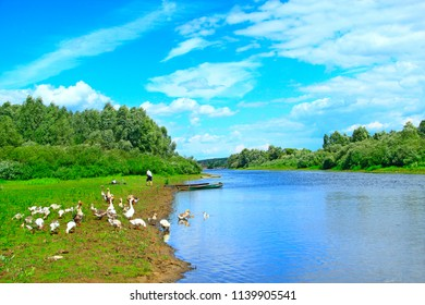 Summer landscape with river and grazing geese. Flock of geese grazes on grass near river. River with domestic goose. Rural landscape of geese croon grass near river