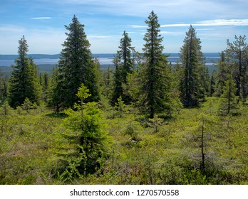 Summer landscape with spruce trees in the wilderness of the Riisitunturi national park, a mountain in Lapland in Finland. Young trees on the foreground and a distant lake on the background.