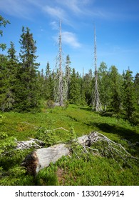Summer landscape with spruce trees in the wilderness of Riisitunturi national park, a mountain in Lapland in Kuusamo, Finland. Old deadwood on the background. Outdoor living concept.