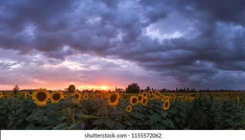 Summer landscape with sunflowers and majestic sky after thunderstorm, panorama
