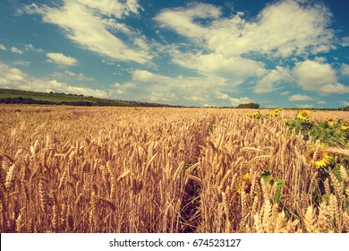 Summer landscape with wheat field and sunflowers. Gold wheat field. Toned.