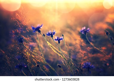 Summer landscape with wildflowers cornflowers in the rays of the sun. Landscape with wildflowers in retro style