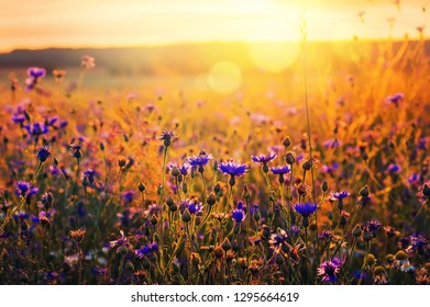 Summer landscape with wildflowers cornflowers in the rays of the sun. Rural landscape with wildflowers