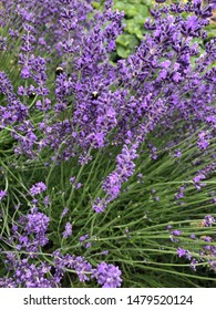Summer Lavender with bumble bees