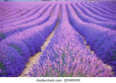 summer lavender farm at Provence, France