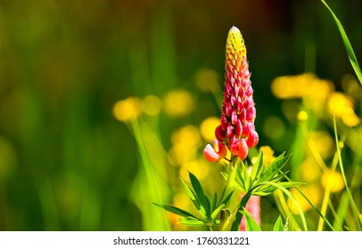 Summer lupin flower bloom macro view. Lupinus. Red lupin flower macro view