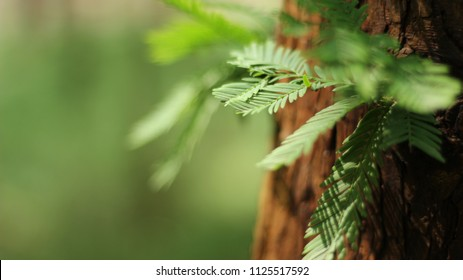 Summer lush sequoia forest