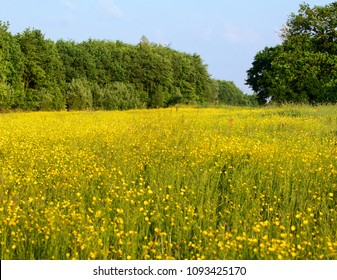 Summer meadow with buttercups, evening sun and blue sky