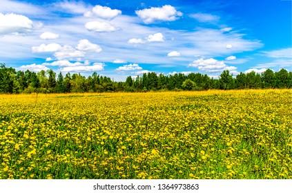 Summer meadow flowers field landscape. Yellow meadow flowers view. Summer yellow meadow flowers scene. Meadow yellow flowers in summer
