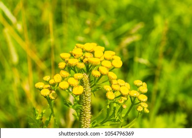 Summer meadow and flowers of wormwood close-up